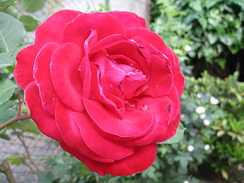 English: A red red rose with dewdrops on it. I...
