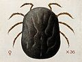 A tick (Ornithodurus moubata). Coloured drawing by A.J.E. Te Wellcome V0022548.jpg