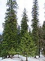Abies pindrow India28.jpg