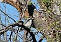 Acacia Pied Barbet (Tricholaema leucomelas) (31390290475).jpg