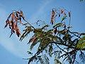 Acacia ataxacantha, loof en peule, b, Louwsburg.jpg