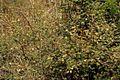 Acacia chariessa07.jpg