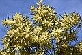 Acacia floribunda CFGk365.jpg