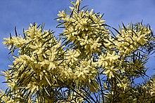 Acacia floribunda - WikiVisually