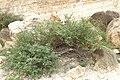 Acacia hamulosa (28399074783).jpg