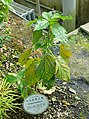 Acalypha hispida - Shinjuku Gyo-en Greenhouse - Tokyo, Japan - DSC05754.jpg