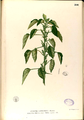Acalypha indica Blanco2.266-original.png