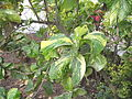 Acalypha wilkesiana hoffmanii-post office-yercaud-salem-India.JPG