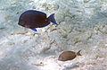 Acanthurus coeruleus (blue tang) (San Salvador Island, Bahamas) 6 (15527792634).jpg