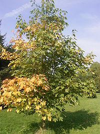Acer heidrechii ssp heidrechii R0019776