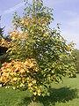 Acer heidrechii ssp heidrechii R0019776.JPG