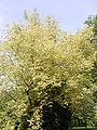 Acer negundo cv. Aueomaculatum R0019693.JPG