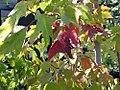 Acer rubrum Red Sunset 0zz.jpg