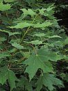 Acer saccharum foliage.jpg
