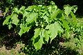 Acer tsinglingense - Morris Arboretum - DSC00499.jpg