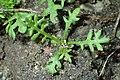 Achillea millefolium kz09.jpg