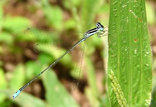 <i>Aciagrion</i> genus of insects
