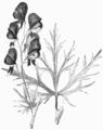 Aconitum, Nordisk familjebok.png