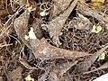 Aconitum napellus root (01).jpg