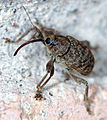 Acorn Weevil.jpg