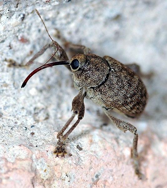 File:Acorn Weevil.jpg