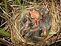 Acrocephalus palustris 03.JPG