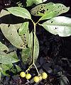 Acronychia pedunculata 14.JPG
