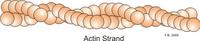Actin strand.png