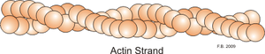 Actin strand.png