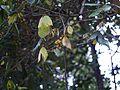 Actinodaphne ¿ angustifolia ? (8291363026).jpg