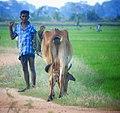 Addalaichannai Srilanka.jpg