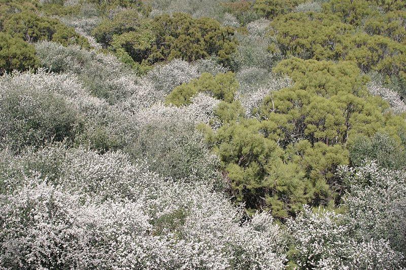 File:Adenostoma sparsifolium and Ceanothus megacarpus.jpg