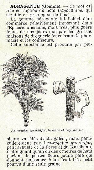 Tragacanth - Astragalus gummifer