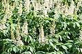 Aesculus parviflora 2461.jpg