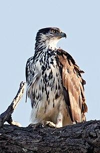African Hawk-eagle Aquila spilogaster