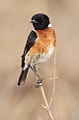 African Stonechat, Saxicola torquatus at Rietvlei Nature Reserve, South Africa (10055139396).jpg