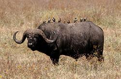 Un buffle noir, dans la savane, au Ngorongoro, en Tanzanie, avec des pique-bœufs sur son dos.
