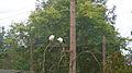African sacred ibis (Threskiornis aethiopicus) (3).jpg