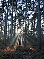 Afternoon sun in Delamere Forest - geograph.org.uk - 274307.jpg