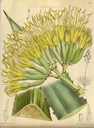 Agave fourcroydes - Image: Agave fourcroydes 144 8746