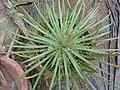 Agave schidigera-1-tnau-yercaud-salem-India.jpg