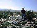 Agaves americana de San Carlos, Tamaulipas.jpg
