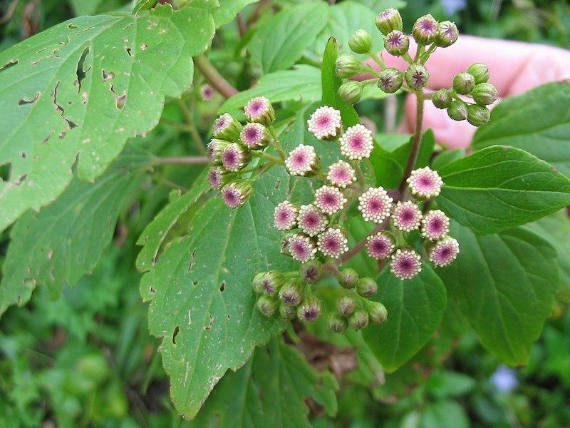 File:Ageratina adenophora (Buds).jpg