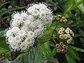 Ageratina adenophora (Flower).jpg