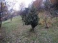 Agrifoglio - panoramio (1).jpg