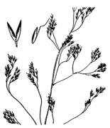 Agrostis canina drawing.png
