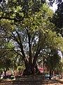 Ahuehuete Tree.jpg