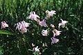 Akvileja (Aquilegia vulgaris) 001.jpg