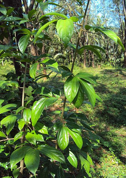 പ്രമാണം:Alangium salviifolium leaves 02.JPG