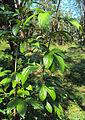 Alangium salviifolium leaves 02.JPG